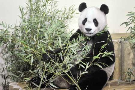 giant pandas arrive at edinburgh zoo from china   tnt magazine