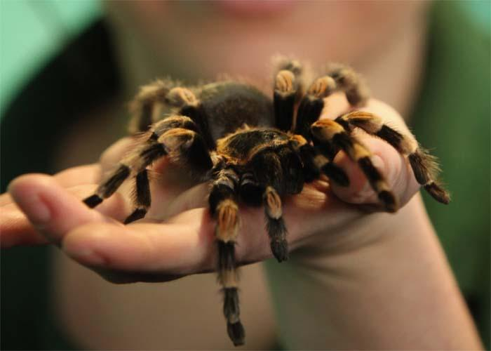 Giant Cancer Spreading Tarantula On Loose In Cardiff