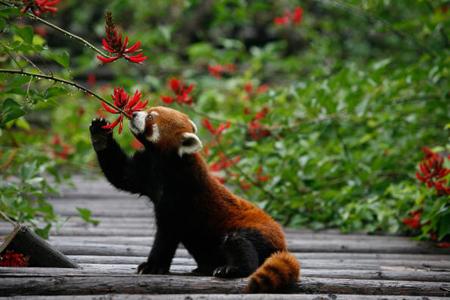 http://www.tntmagazine.com/media/red-panda-5.jpg